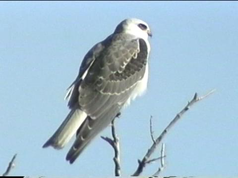 White Tailed Kite Identification All About Birds Cornell Lab Of Ornithology