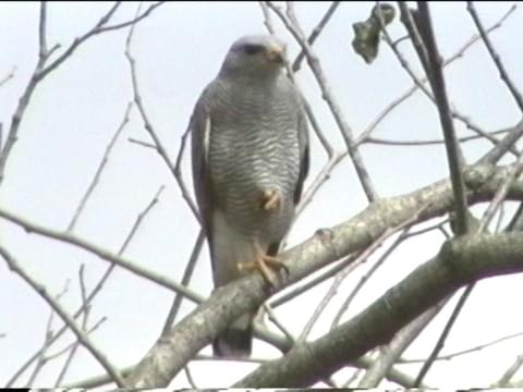 Gray Hawk Identification All About Birds Cornell Lab Of Ornithology
