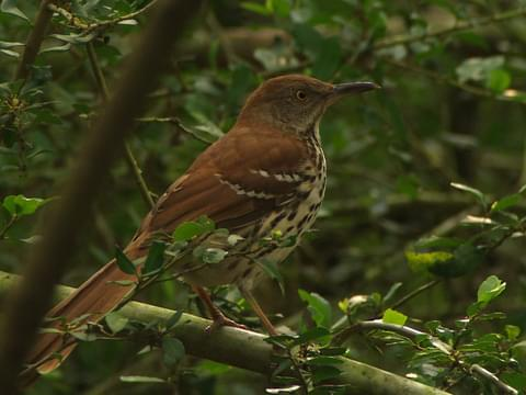Brown Thrasher Identification, All About Birds, Cornell Lab of
