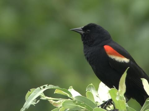 Black Bird With Red Under Wings 6