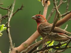 House Finch Overview, All About Birds, Cornell Lab of Ornithology
