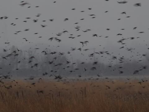 Red-winged Blackbird Identification, All About Birds