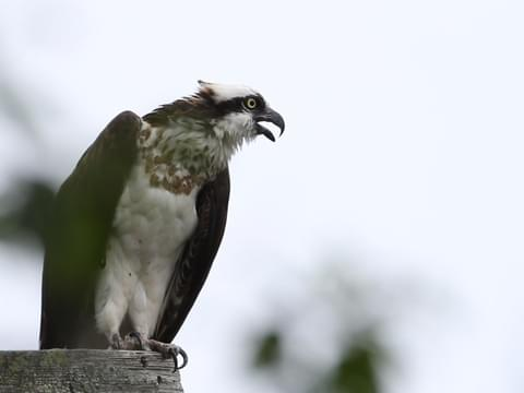 later beste selectie populair kopen Osprey Identification, All About Birds, Cornell Lab of ...