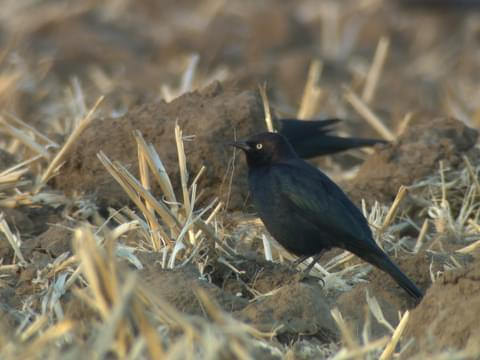 Brewer's Blackbird Identification, All About Birds, Cornell