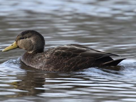 American Black Duck Identification All About Birds Cornell Lab Of Ornithology,Fettucini Pasta