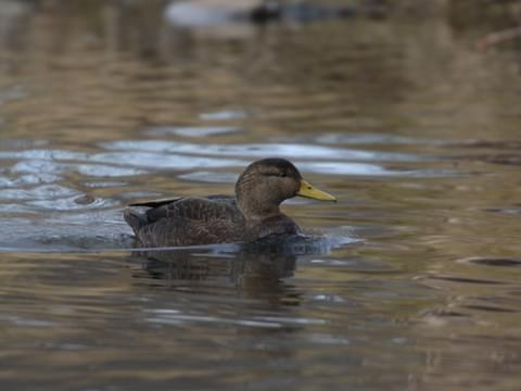 American Black Duck Identification All About Birds Cornell