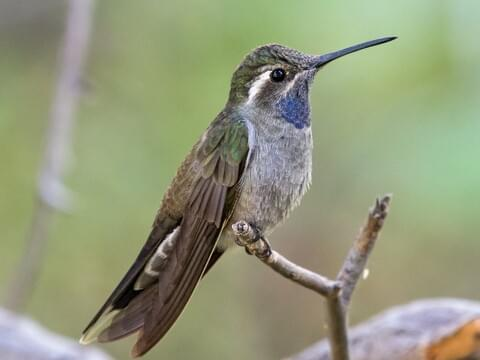 Ruby-throated Hummingbird Sounds, All About Birds, Cornell