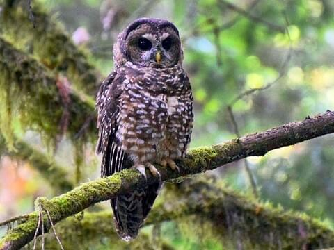 Barred Owl Identification, All About Birds, Cornell Lab of