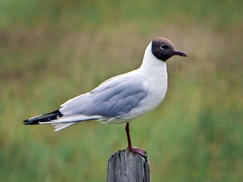 Laughing Gull Life History, All About Birds, Cornell Lab of
