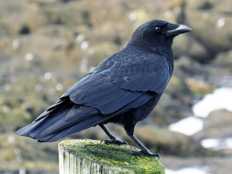 Common Raven Sounds, All About Birds, Cornell Lab of Ornithology