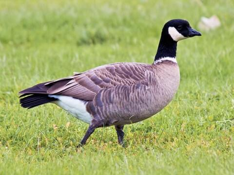 Canada Goose Identification, All About Birds, Cornell Lab of Ornithology