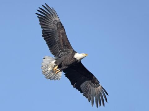 California Condor Identification, All About Birds, Cornell