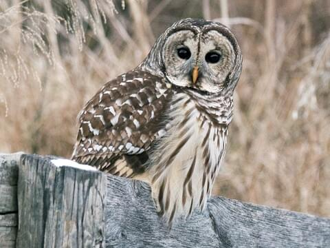 Great Horned Owl Life History, All About Birds, Cornell Lab ...