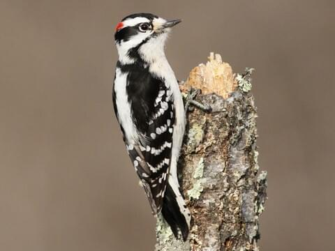 Hairy Woodpecker Overview All About Birds Cornell Lab Of