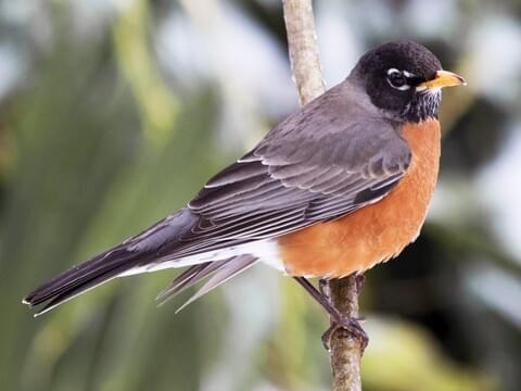 Baltimore Oriole Life History, All About Birds, Cornell Lab