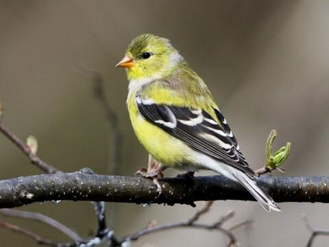 Lesser Goldfinch Identification All About Birds Cornell Lab Of Ornithology