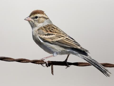 American Tree Sparrow Identification All About Birds Cornell Lab Of Ornithology