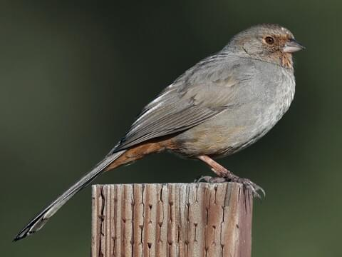 Northern Cardinal Overview, All About Birds, Cornell Lab of