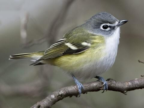 Black Capped Vireo Identification All About Birds Cornell Lab Of Ornithology
