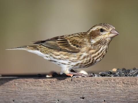 House Finch Sounds, All About Birds, Cornell Lab of Ornithology