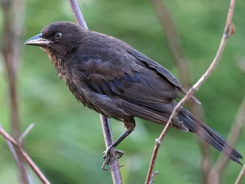 Brewer's Blackbird Sounds, All About Birds, Cornell Lab of