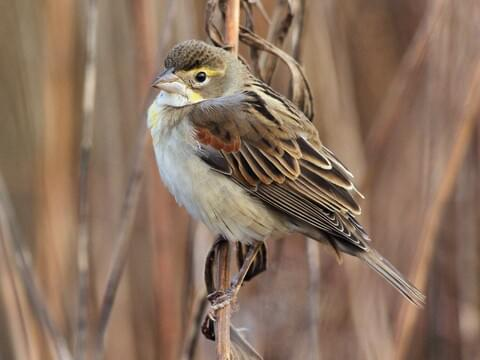 House Sparrow Identification, All About Birds, Cornell Lab
