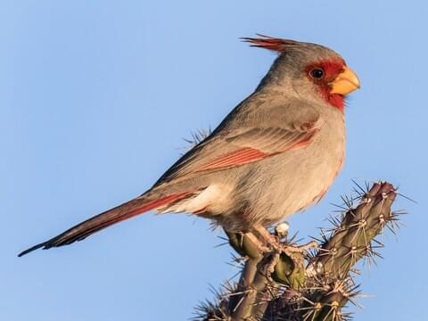 Northern Cardinal Sounds, All About Birds, Cornell Lab of