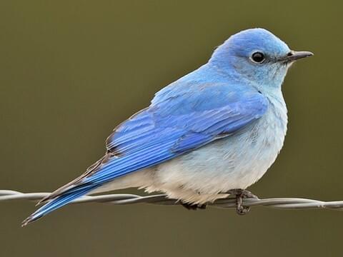 Western Bluebird Identification All About Birds Cornell