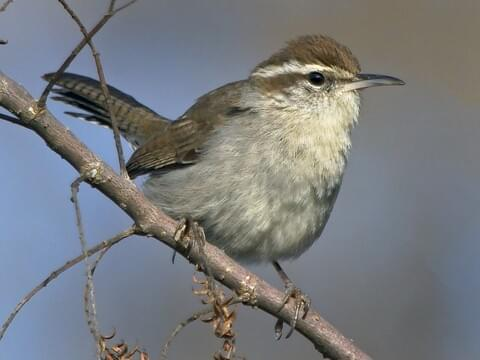House Wren Sounds, All About Birds, Cornell Lab of Ornithology