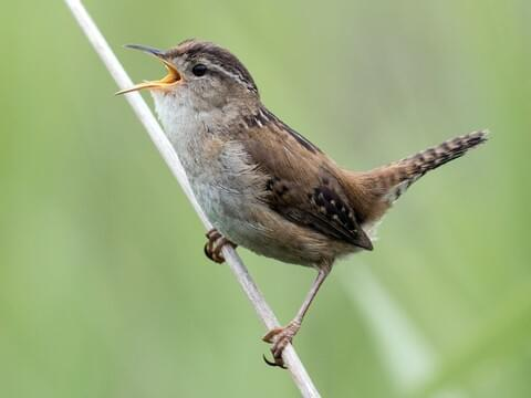 House Wren Identification, All About Birds, Cornell Lab of