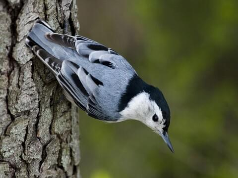 Black-capped Chickadee Sounds, All About Birds, Cornell Lab