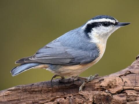 White-breasted Nuthatch Identification, All About Birds
