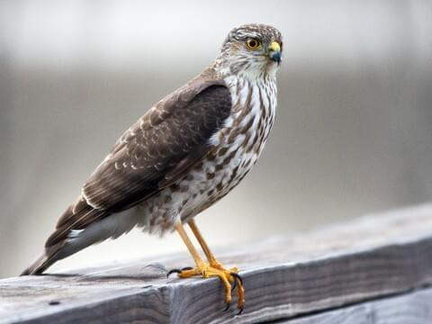 Cooper S Hawk Life History All About