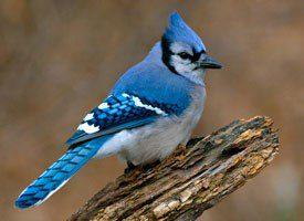 blue jay by Gary Mueller/PFW