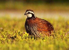 northern bobwhite by Philip Simmons via Birdshare