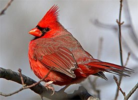 northern cardinal by Kevin Bolton via Birdshare