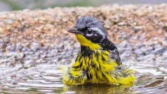 Magnolia Warbler taking a bath