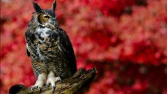 Great Horned Owl by Jen St. Louis via Birdshare
