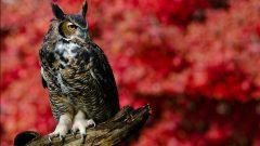 Great Horned Owl by Jen St. Louis via Birdshare