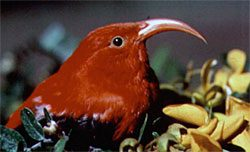 A native hawaiian honeycreeper, the Iiwi. Like all native birds on Hawaii, these birds face many conservation threats, American Ornithologists