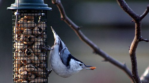 A White-breasted Nuthatch takes advantage of a peanut feeder.
