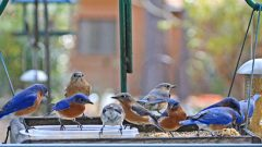 Eastern Bluebirds at feeder