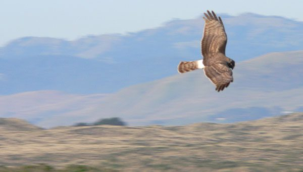 northern harrier or marsh hawk