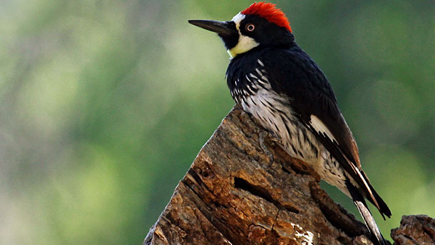 Acorn Woodpeckers have been known to make holes in houses to store their acorns. Photo by Maureen Sullivan via Birdshare.