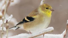 American Goldfinch may have duller coloration in the winter, but they are still handsome little birds. Photo by Trevor Carl via Birdshare.