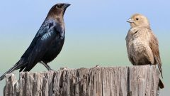 A Brown-headed Cowbird couple (a male on the left, female on the right). If these birds are raised by other species, how do they learn to recognize their own species? Photo by Sterling Moore via Birdshare.