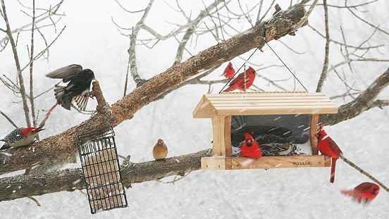 A busy winter feeder: Northern Cardinals, a Red-bellied Woodpecker, and a European Starling. Photo by Alice Kahn/PFW.