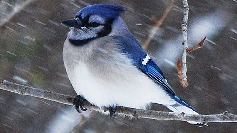 Perching birds, like this Blue Jay, have a special mechanism in their foot anatomy that causes their feet to hold tight to their perches even in high winds. Photo by Gerald Barnett via Birdshare.