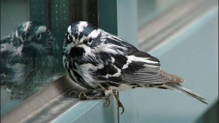 A black and white warbler sits quietly and recovers after hitting a window