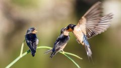 Barn Swallows may not learn to recognize their own young's calls, but that doesn't mean they aren't good parents. Photo by Bob Gunderson via Birdshare.